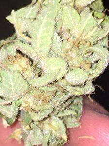 Alien OG Marijuana Strain