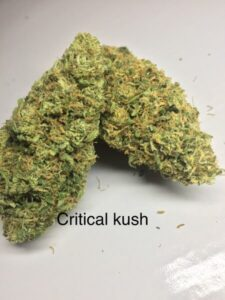 Buy Critical Kush Strain