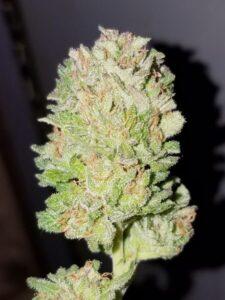 Master Kush Weed Strain