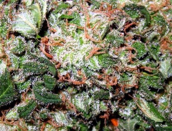 Mt Cook Cannabis Strain